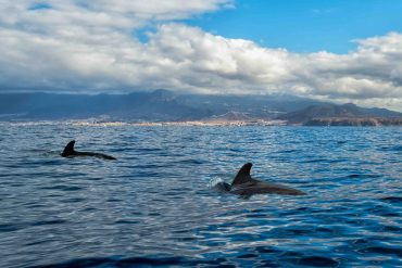 canarie balene cetacei